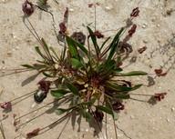Scorpiurus muricatus