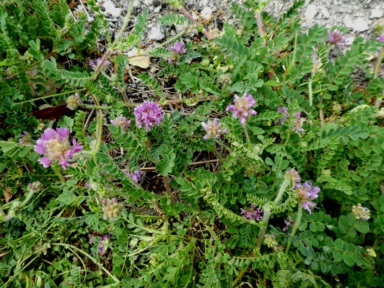 Astragalus echinatus