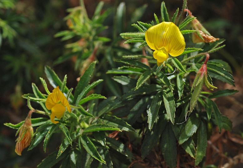 Ononis angustissima