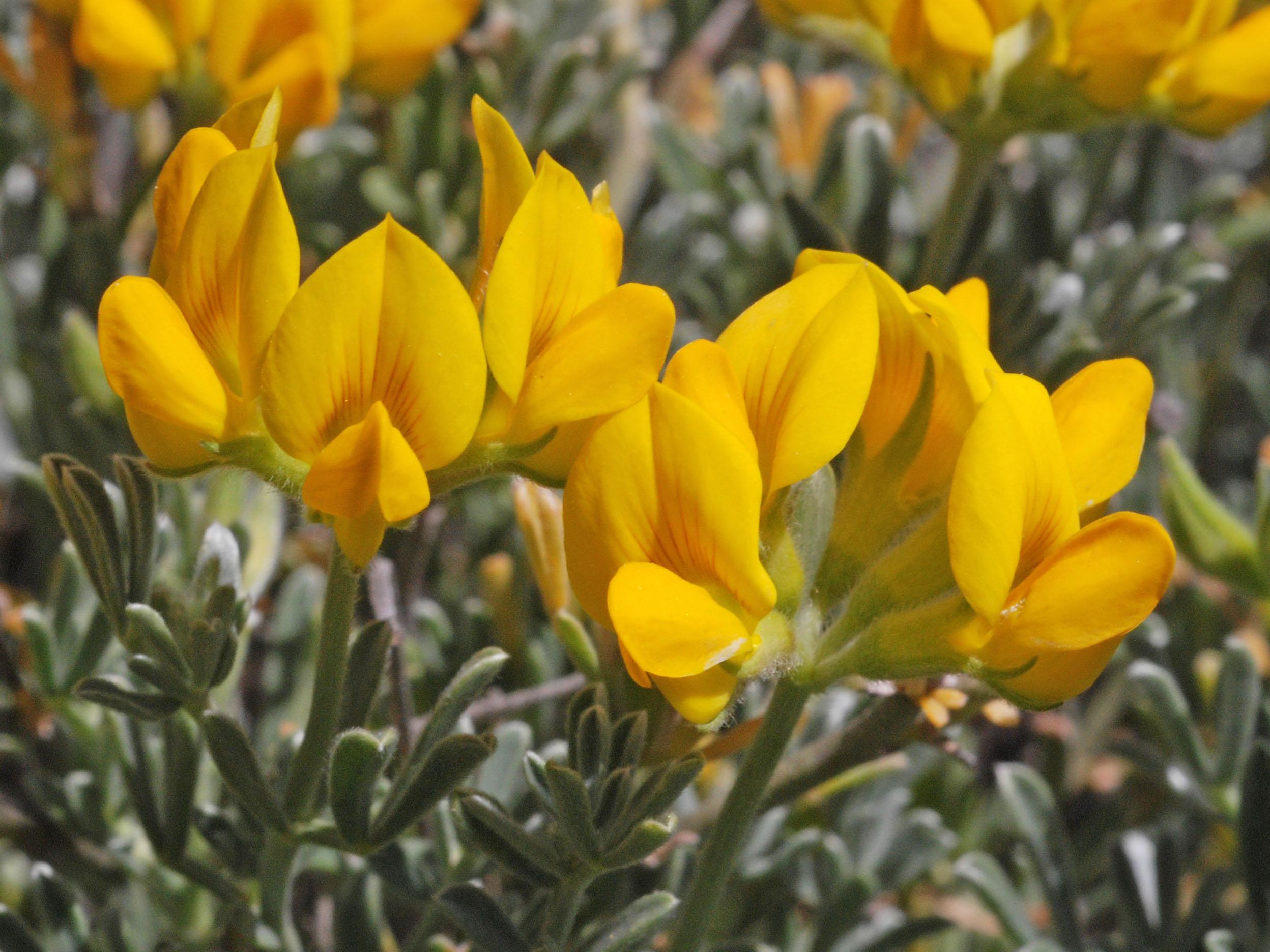 Lotus spartioides