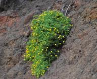 Lotus calli-viridis