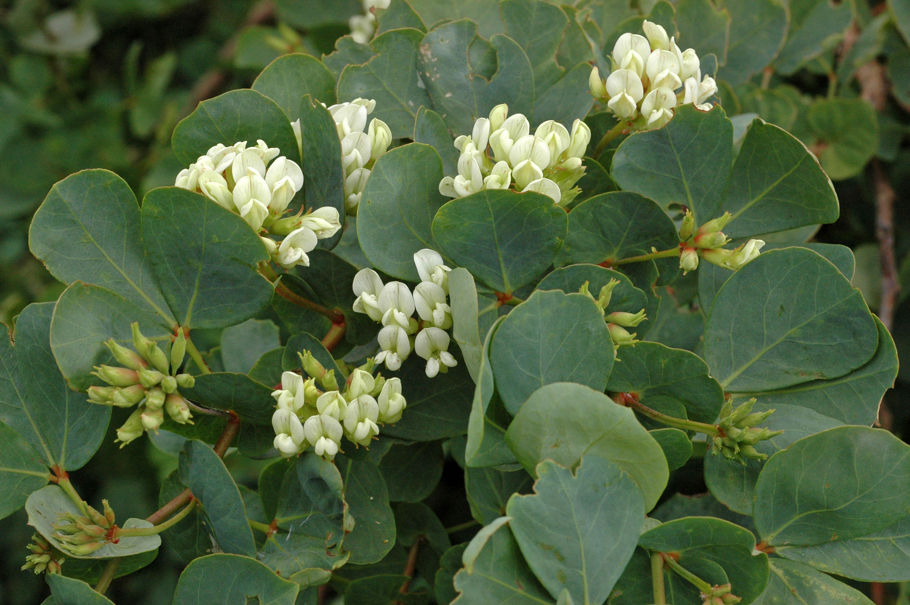 Dorycnium eriophthalmum