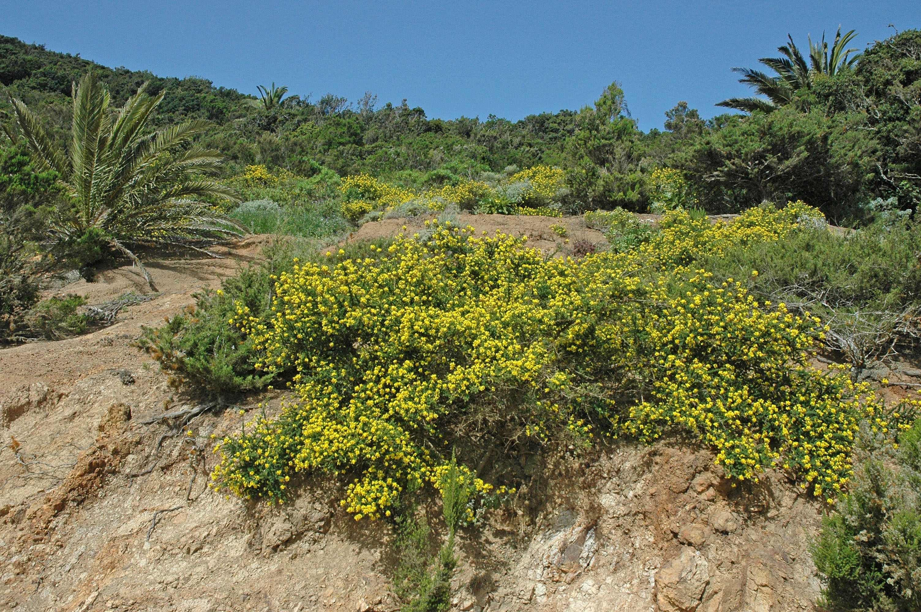 Adenocarpus foliolosus