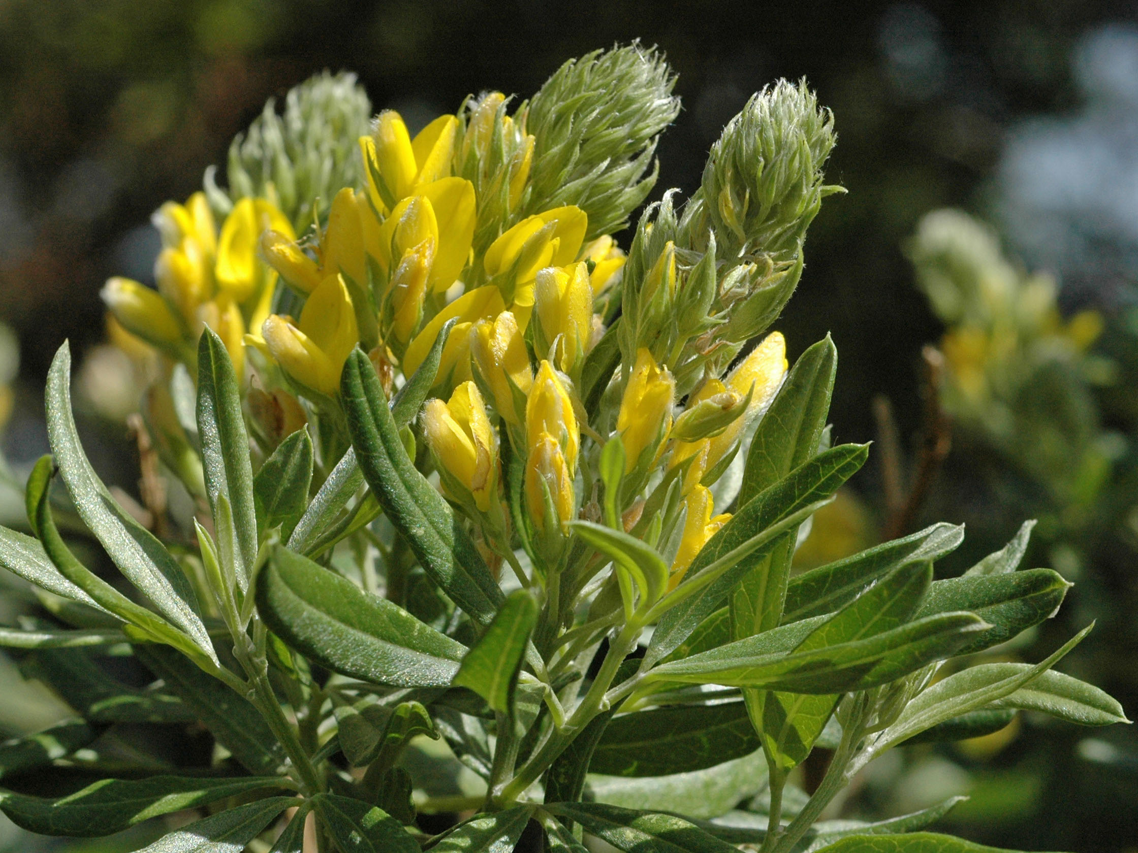 Teline linifolia