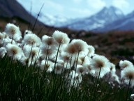 Eriophorum scheuchzeri