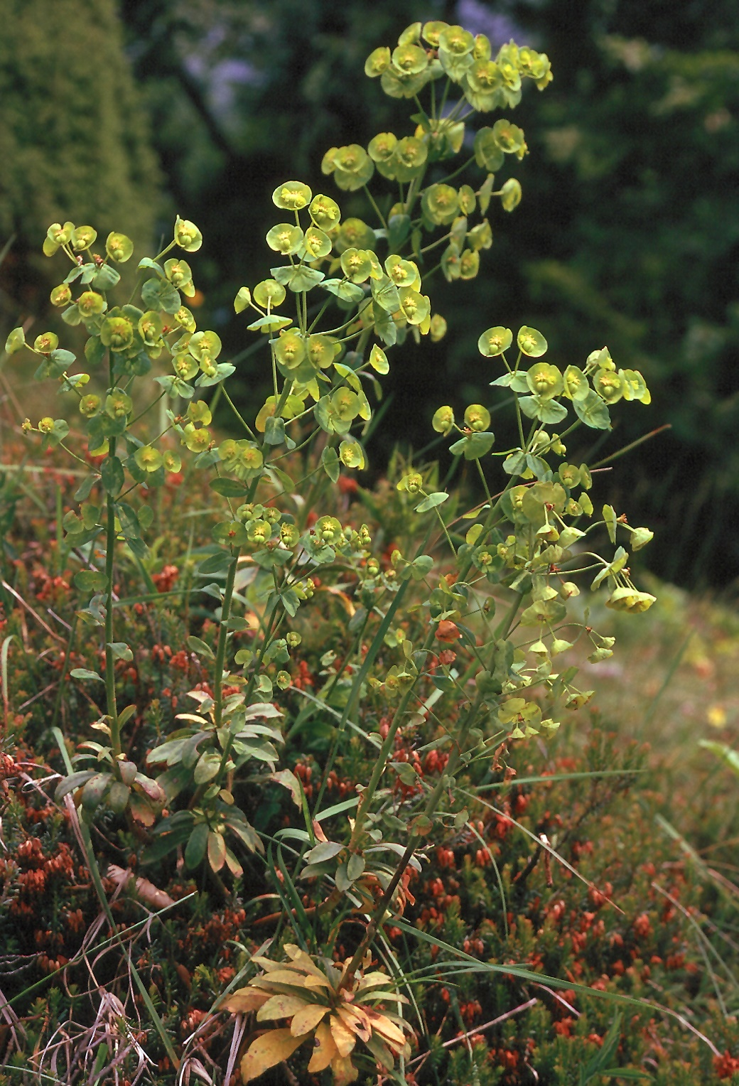 Euphorbia amygdaliformis
