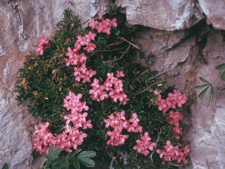 Daphne petraea