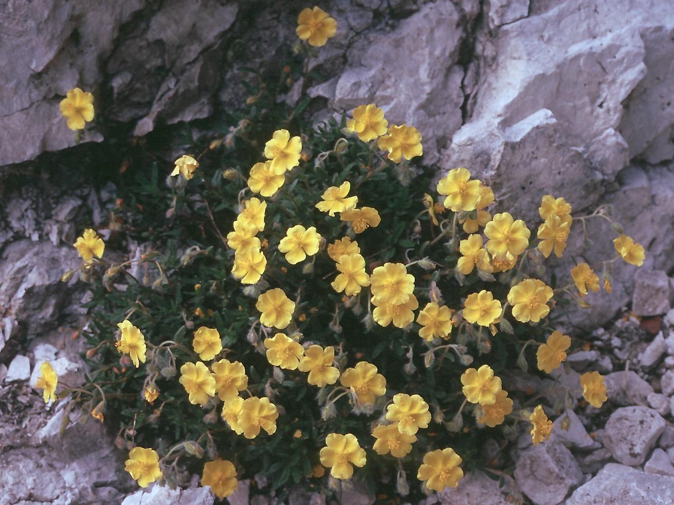 Helianthemum grandiflorum
