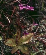Pinguicula grandiflora198 31
