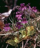 Pinguicula grandiflora