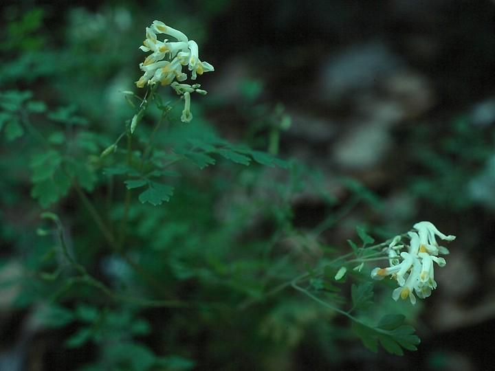 Corydalis ochroleuca