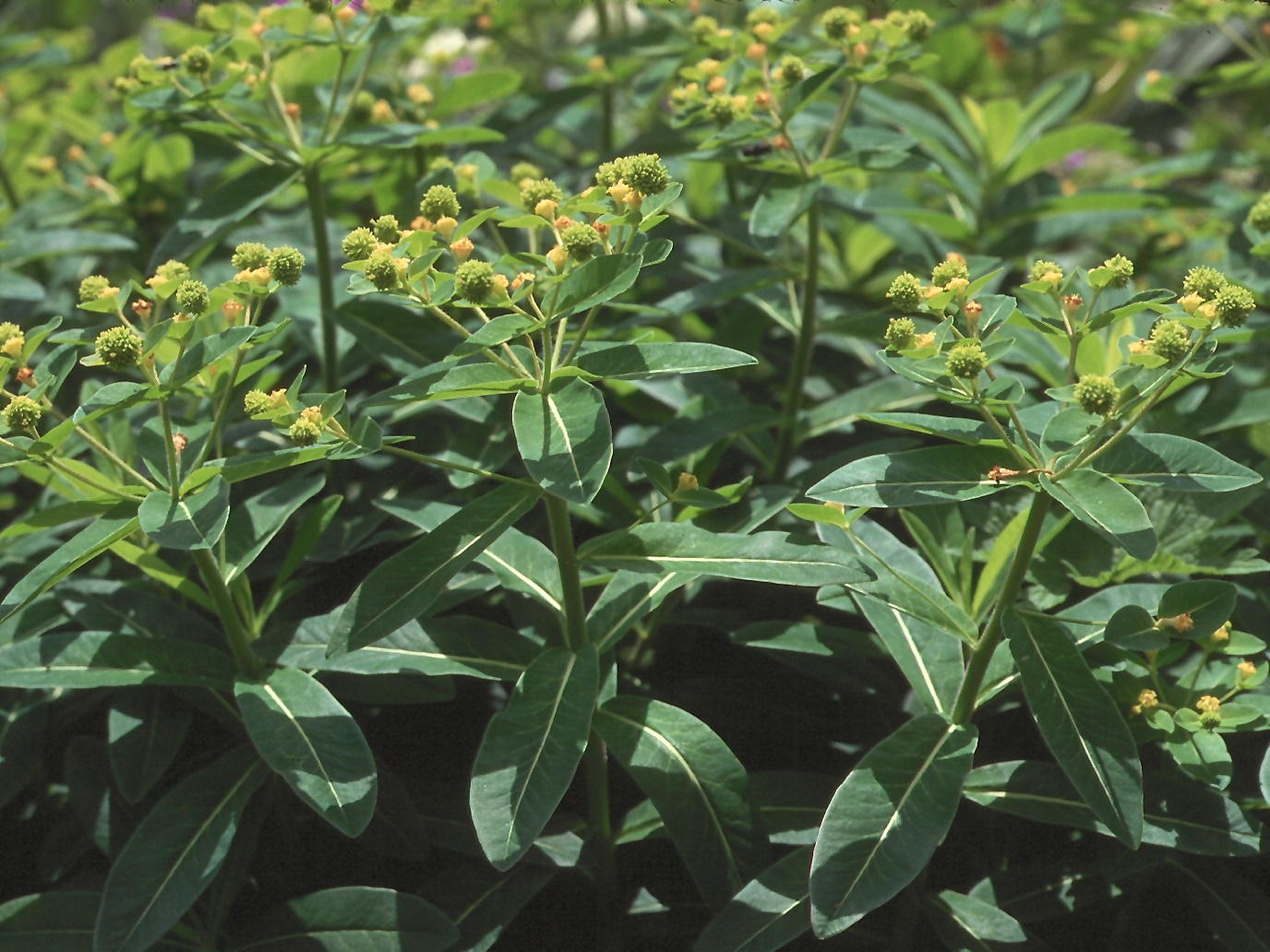 Euphorbia hibernica