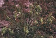 Onosma echioides?
