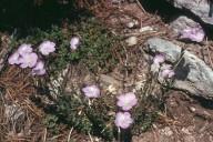 Linum spathulatum