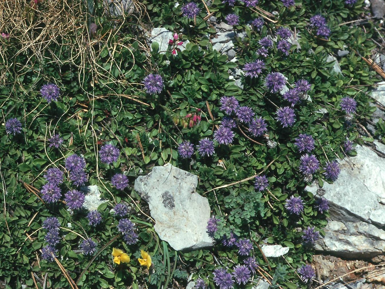 Globularia bellidifolia
