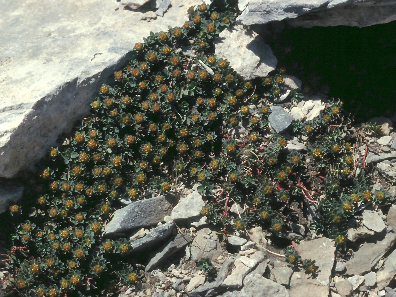 Euphorbia capitulata