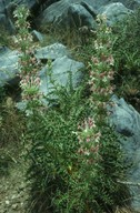 Morina persica
