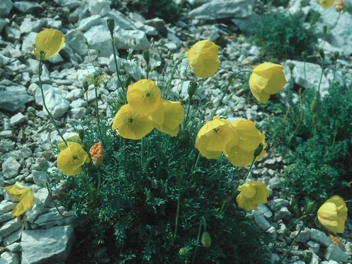 Papaver kerneri
