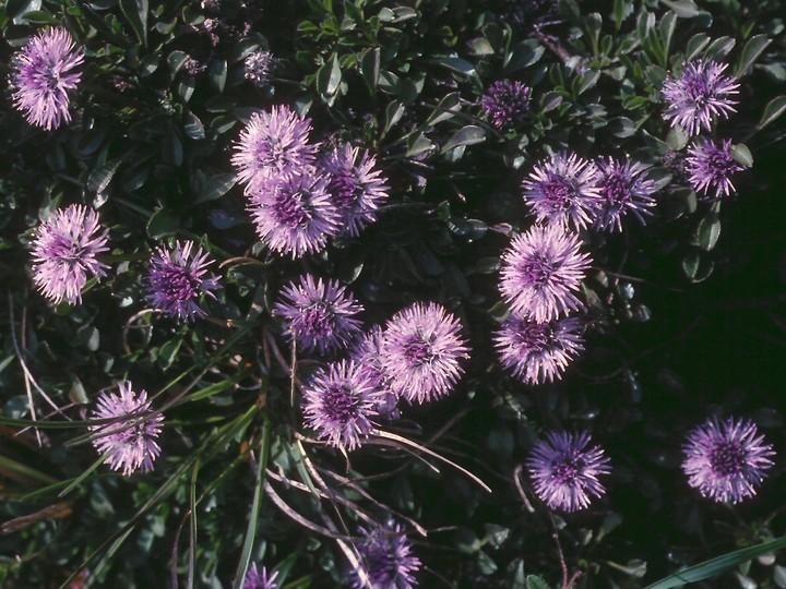 Globularia nana