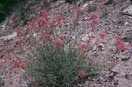 Centranthus angustifolius