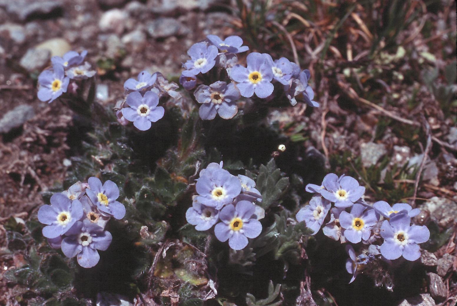 Eritrichium nanum ssp. jankae