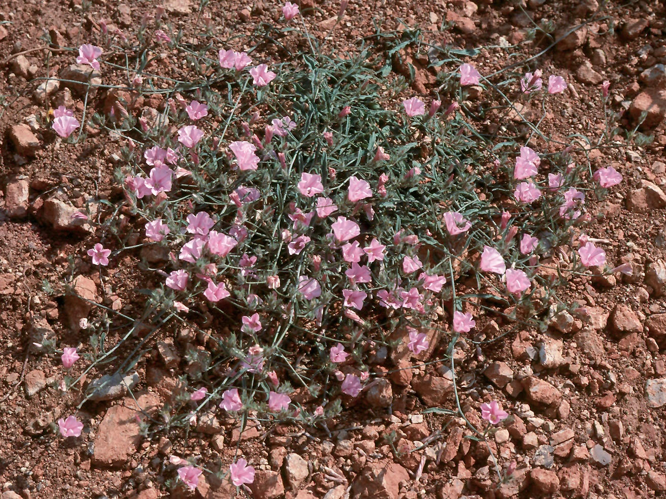Convolvulus cantabricus