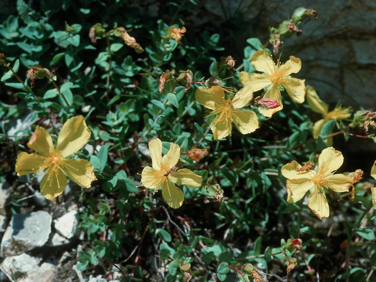 Hypericum rumeliacum