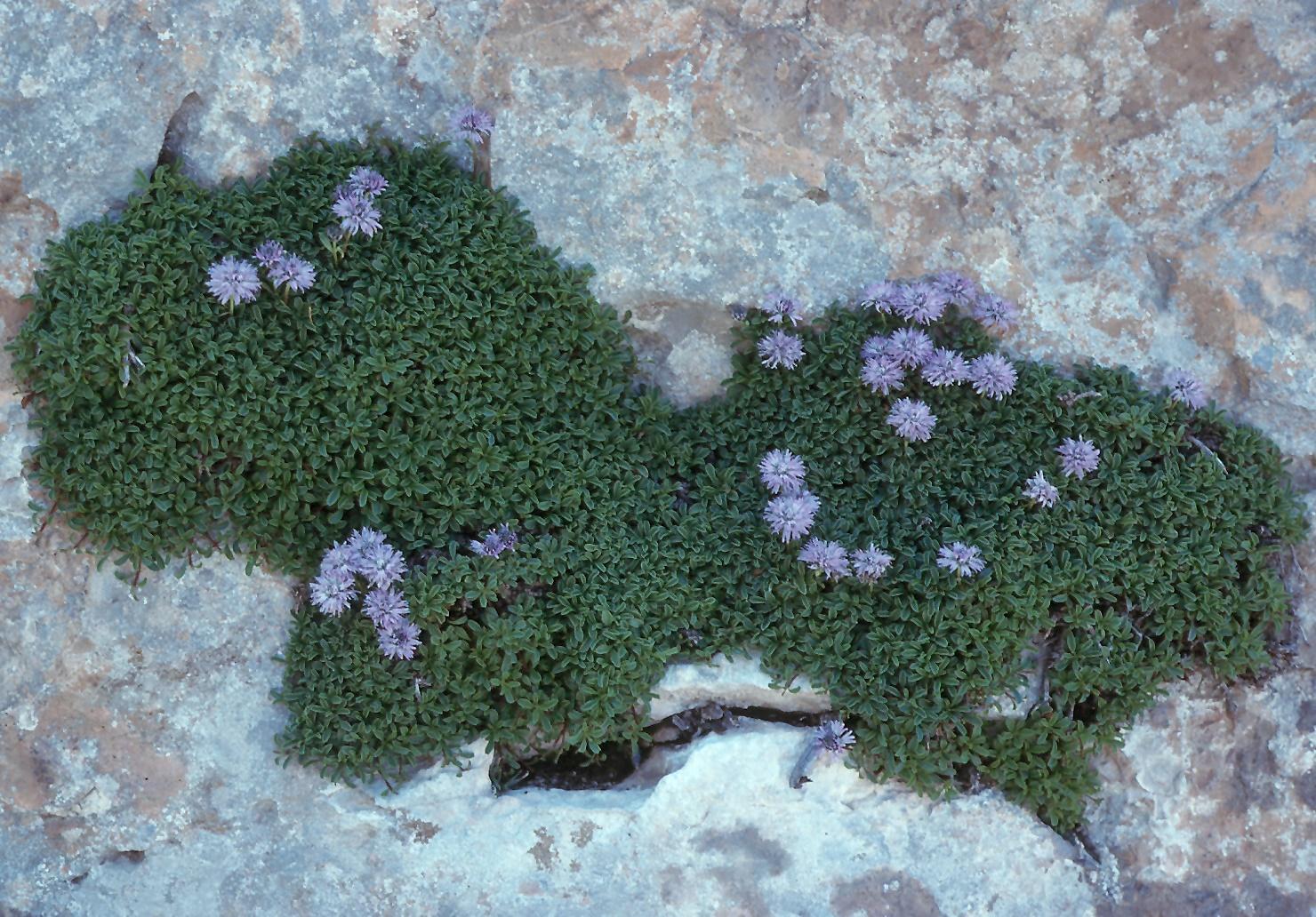 Globularia meridionalis
