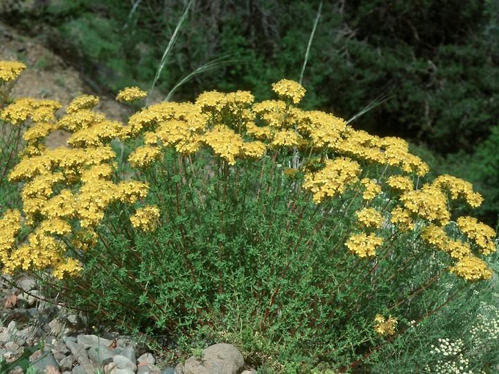 Hypericum sp.3