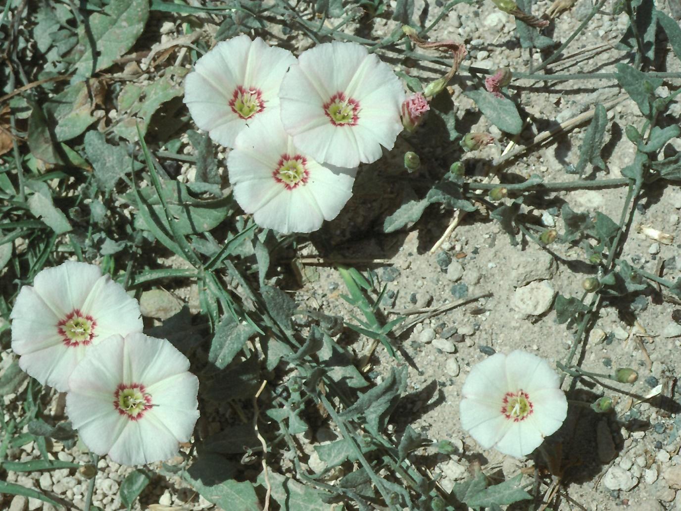 Convolvulus sp.2