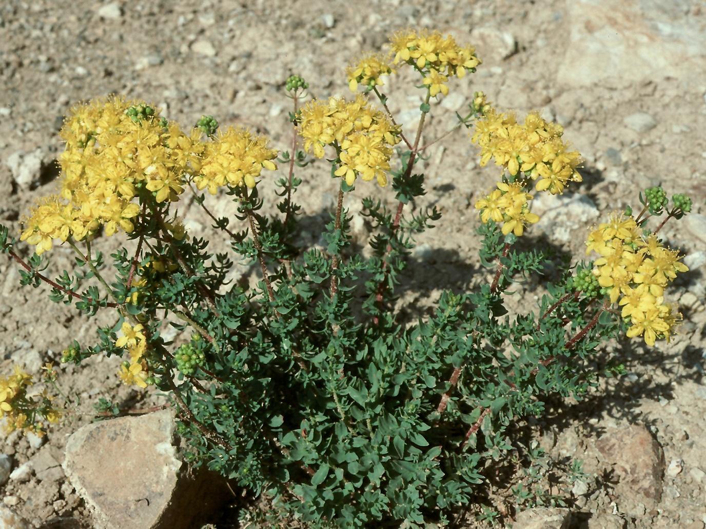 Hypericum sp.1