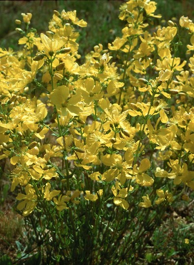 Hypericum sp.2