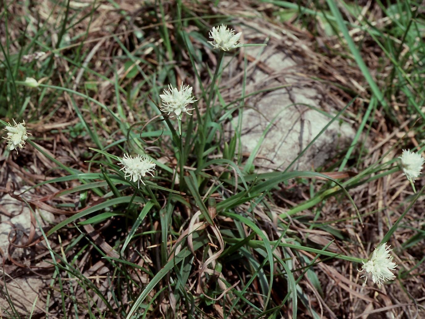 Carex baldensis