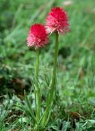 Nigritella nigra ssp.rubra