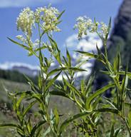 Polygonum alpinum