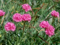 Armeria alpina