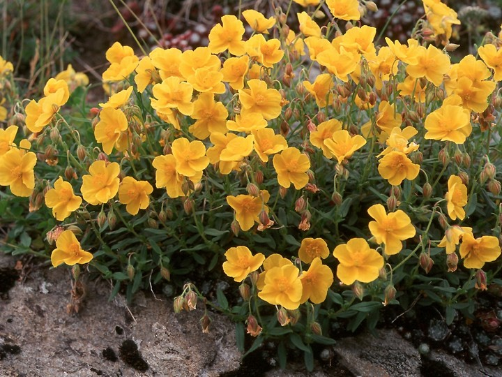 Helianthemum sp.