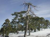 Pinus nigra ssp. pallasiana