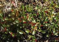 Salix polaris
