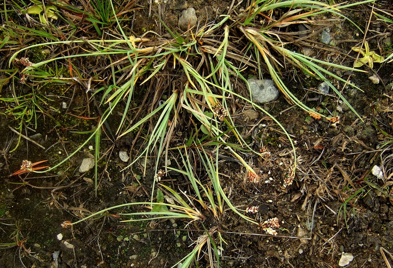 Carex bicolor