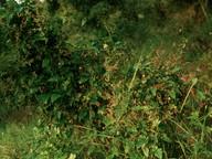 Aristolochia sempervirens