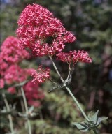 Centranthus ruber