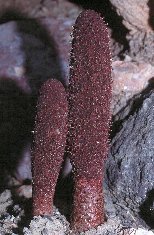 Cynomorium coccineum