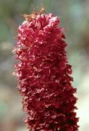 Orobanche densiflora var. tarifae