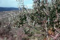 Olea europaea ssp. oleaster