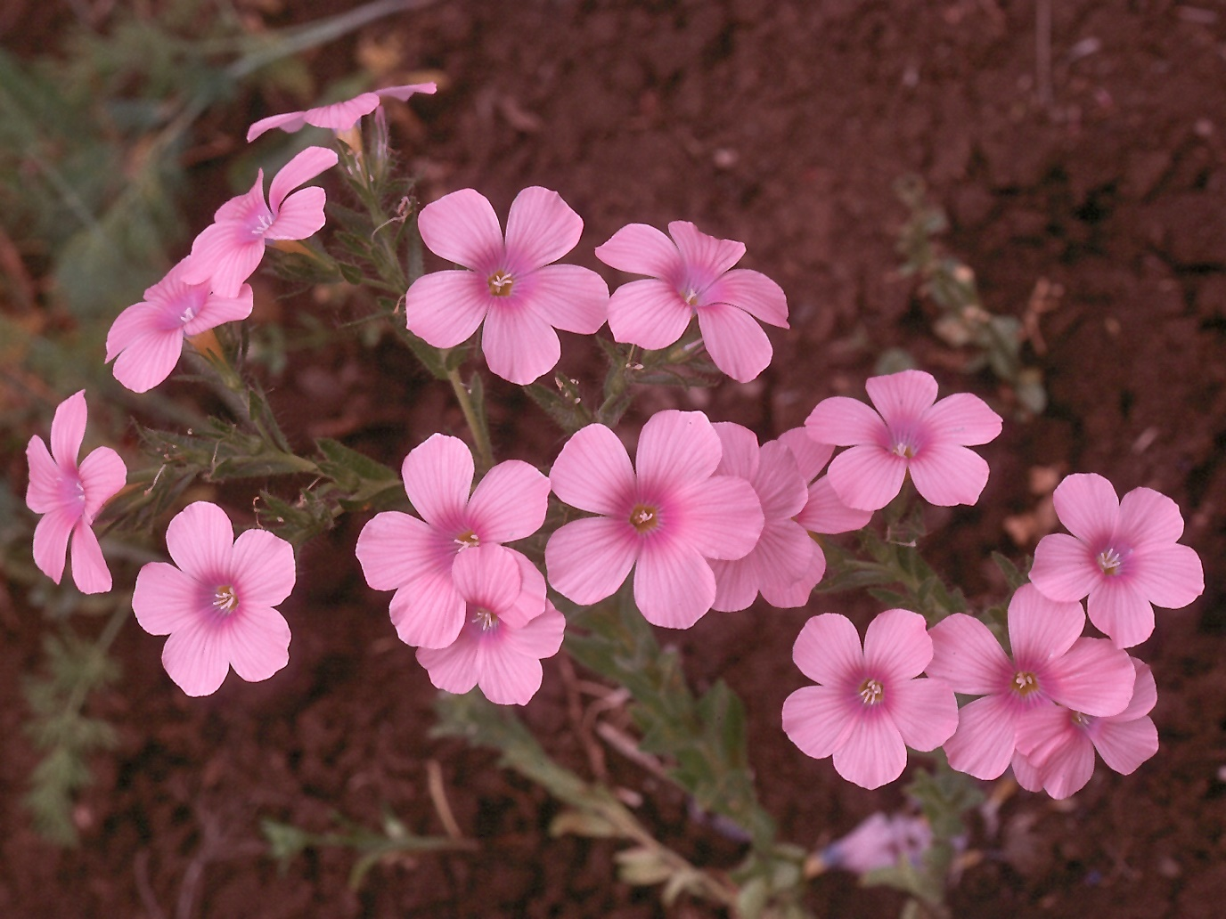 Linum pubescens