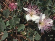 Capparis ovata