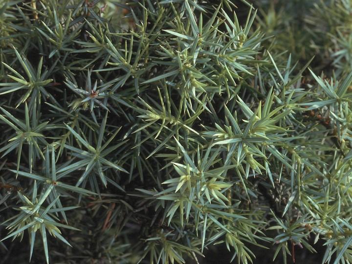 Juniperus oxycedros
