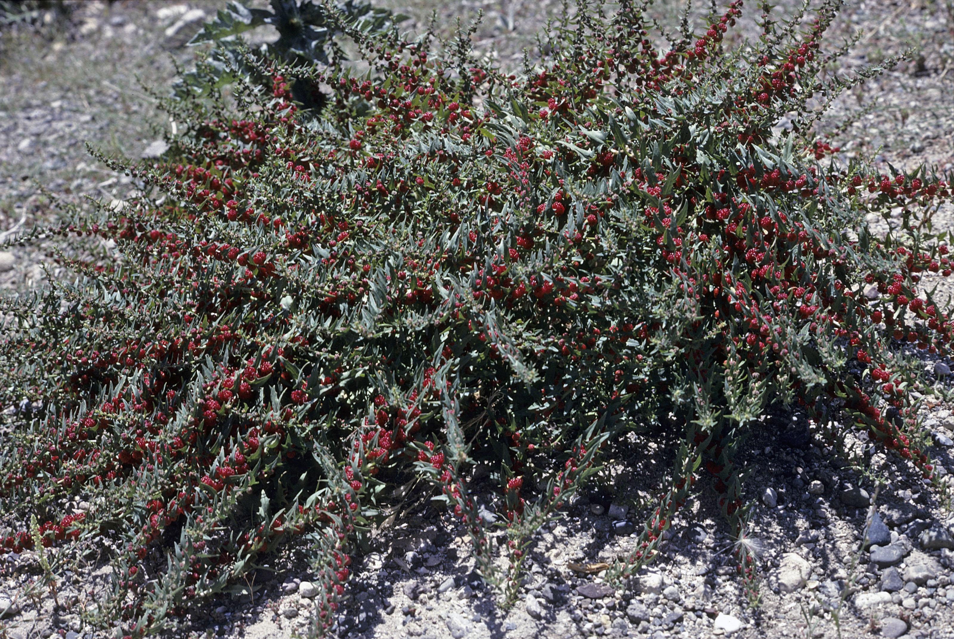 Chenopodium foliosum