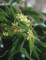 Vincetoxicum sp. (yellowish flowers)